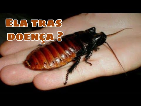 Baratas de madagascar, americana e Dubia conheça esses insetos