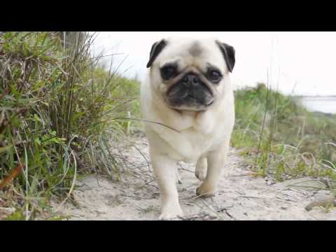 Rescued Pugs On The Beach with Tommy Franklin 'salty rain' - Pugs SOS