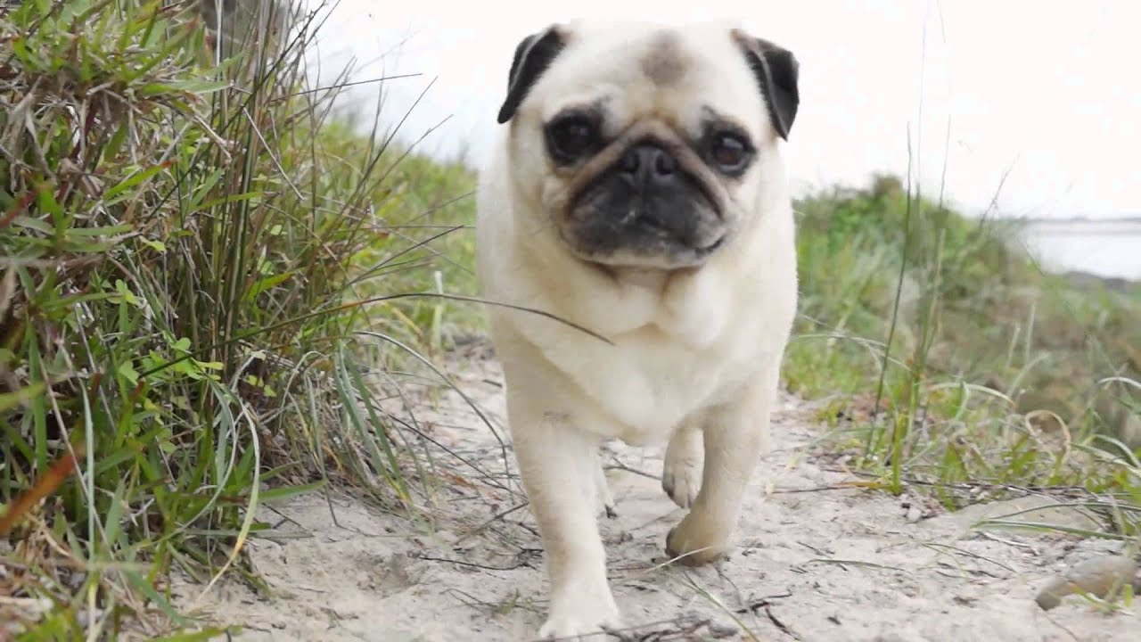3d Puppy Wallpaper Rescued Pugs On The Beach With Tommy Franklin Salty Rain