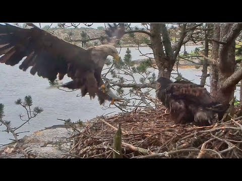 Smola Norway Eagles Nest Cam ~ Baron Delivers Flopping Fish For A Hungry Solo 7.1.17