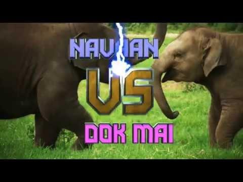 Baby elephant play fight