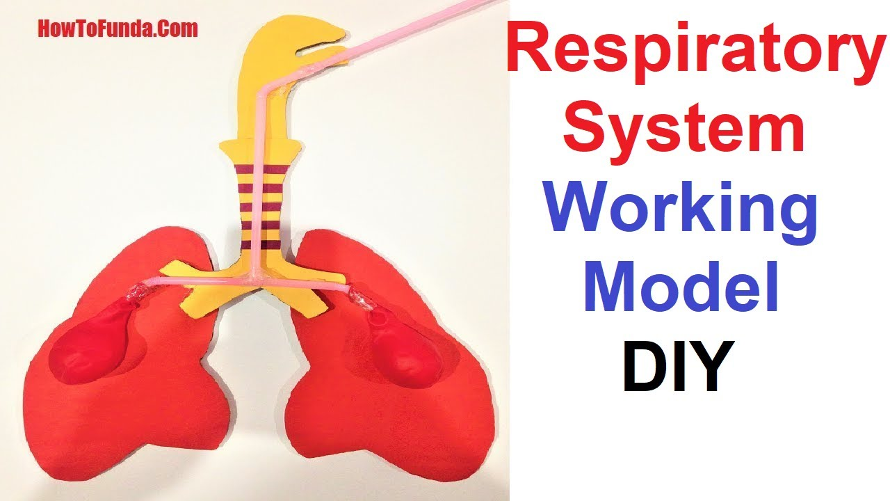 Respiratory System Working Model School Science Project