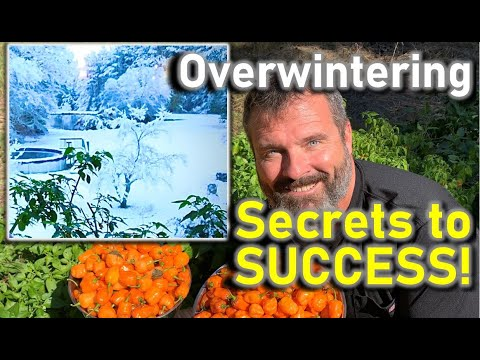 Overwintering Your Peppers, Is It Worth Doing?  Teach A Man To Fish