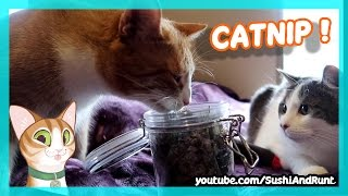 Meowijuana - The Effects of Catnip, featuring 5 Cats !