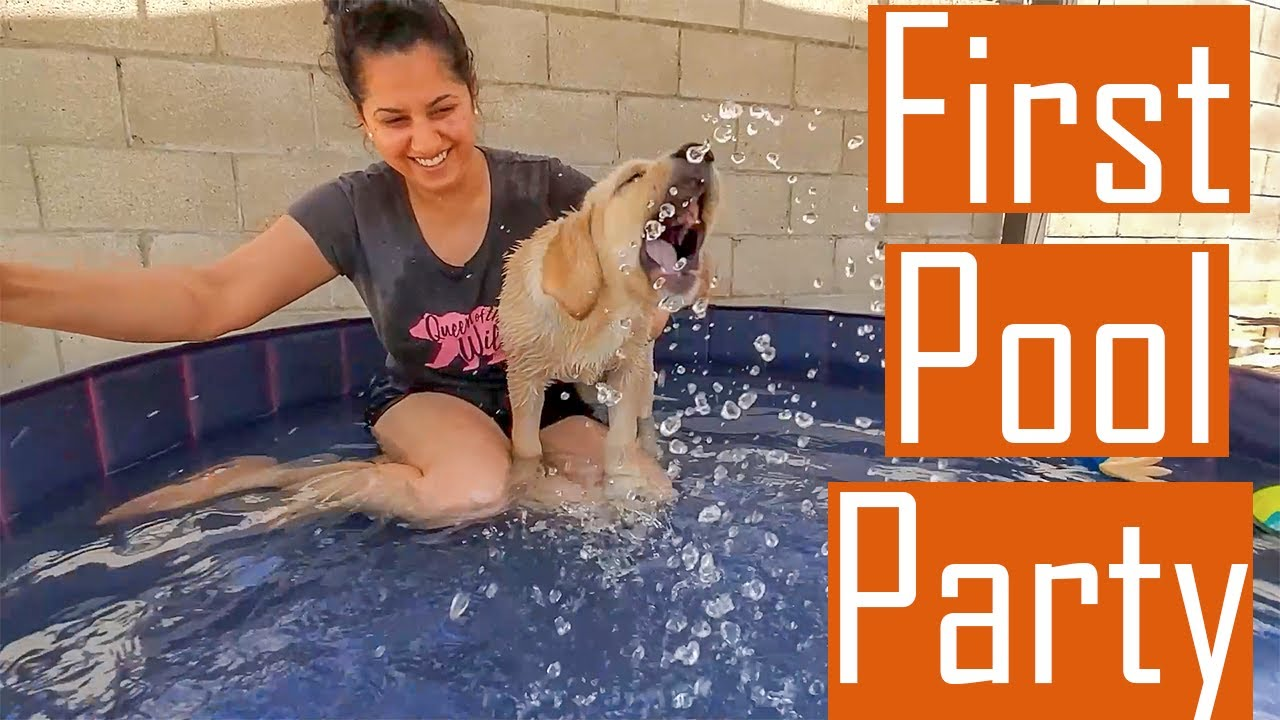 Our Labrador Puppy Enjoying his First Pool Party [Video with Photo shoot] (English Subtitles)