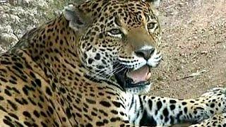 ДНК ягуара поможет сохранить исчезающий вид (новости)