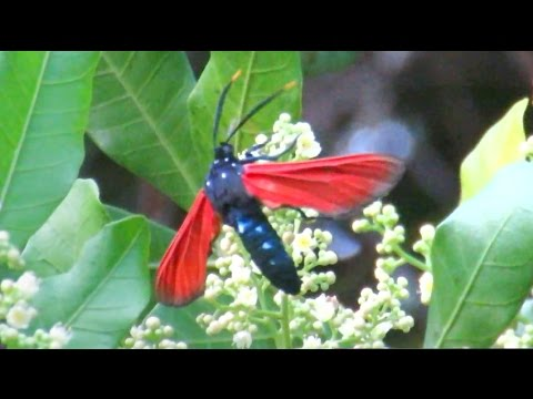 Wasp Moth - Spotted Oleander Moth Polinating Brazilian Pepper Trees