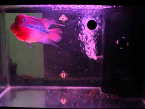 ปลาหมอสี กินหนอนแดง flower horn fish eating red worm