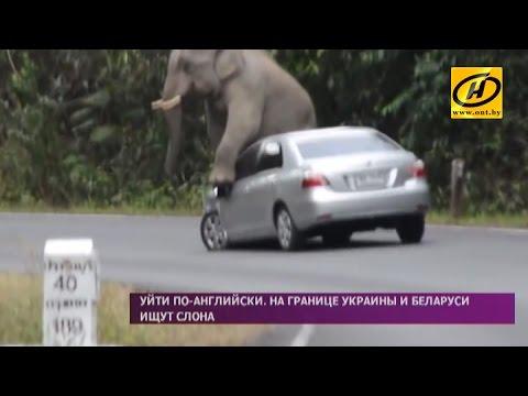 Венгерский слон из зоопарка бродит между Беларусью и Украиной