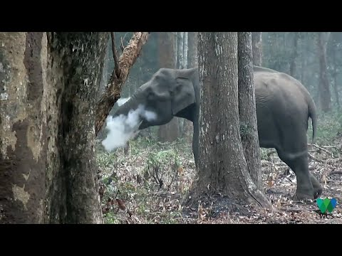Elephant seen 'smoking' in southern India