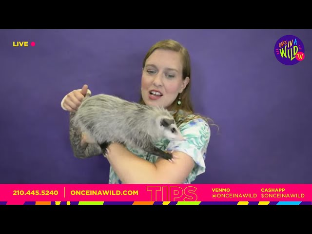 😱 These Animals Can Eat ANYTHING They Want!! 😱 (AWESOME OMNIVORES!) Opossum & Tegu Lizard!