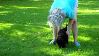 "Glicks Standard Poodles ""shade"" Temperament Testing"