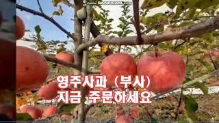 소백산 약초물 먹고 자란 고당도 명품 영주봉화사과를 소…
