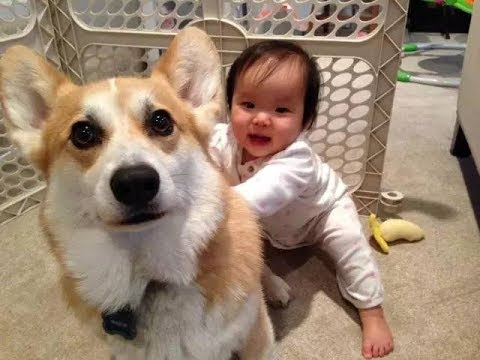 Best Babies Laughing At Corgi Dogs