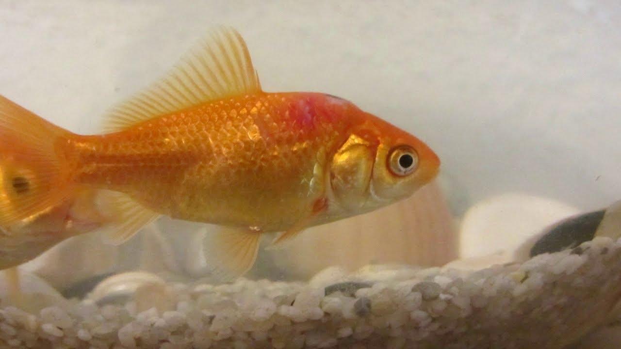 Heridas bajo la piel de los peces y problemas similares for Peces goldfish tipos