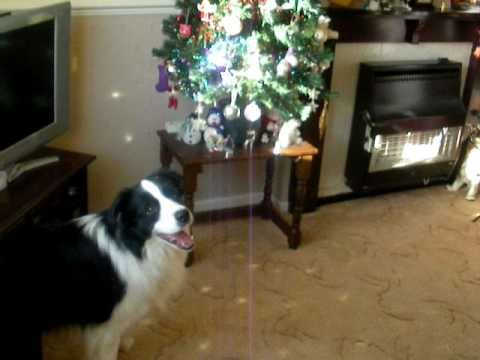 Border collie and the xmas tree