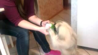 Голодная собака ест траву