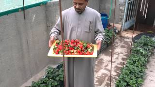 محصول الفراولة التجربة الاولى ((زراعة فوق سطح المنزل))