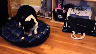 Bogart The Cardigan Welsh Corgi Is Trying To Bury A Bone In His Bed