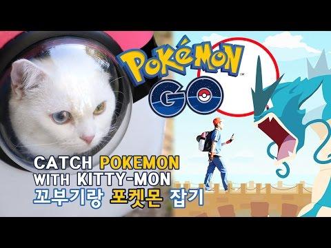 포켓몬고 고양이 꼬부기랑 포켓몬 잡기 - 5백만뷰 기념영상 Cat Gato ねこ 短足猫