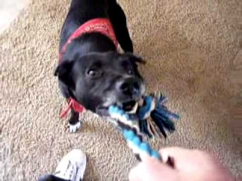 pov-tug-o-war-with-my-dogs!-get-that-rope-boys!!!
