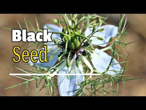 Black Seed – The Secret Miracle That Heals All Diseases!- Best Health Benefits of Black Seeds