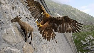 Eagles hunting Mountain goat !!! Let\'s watch the Eagles use their skills to catch the Mountain goat