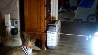 Cairn Terrier Having Fun With Kitten  And Wrestling Funny