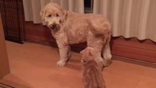 スコティッシュフォールドのネコとゴールデンドゥードルの犬の少し激し...
