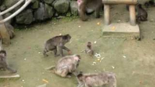 仙台市八木山動物公園のサル山での七夕イベントでの、サルの親子の様子...