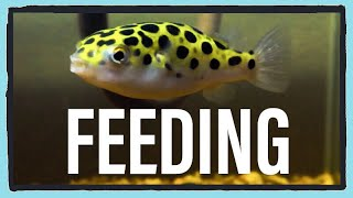 What I Feed My Green Spotted Puffer (Feeding Frenzy!)
