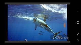 """Википедия о """"Белой акуле"""""""