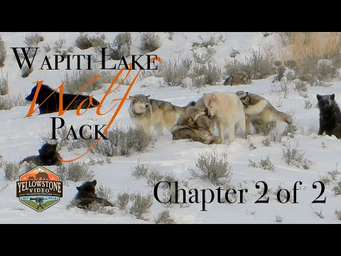 Yellowstone's Wolves in Winter - Spend 2 Days with the Wapiti Pack, Chapter 2 of 2 - December 2019