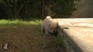 Прикольный щенок. funny puppy