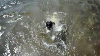 Pug Swimming