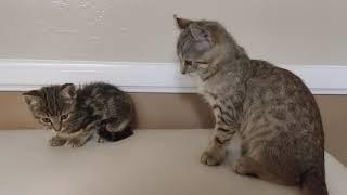 F2 Jungle-cat / Bobcat /Savannah-Lynx meets Bengal kitten for first time