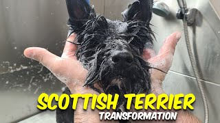 SCOTTISH TERRIER GROOMING Transformation    Pet   Dog Grooming   The Dog