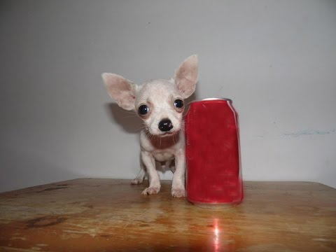 Chihuahueño de Bolsillo Chocolate Hermoso - Teacup, Tacita, Mini Toyиз YouTube · Длительность: 47 с  · Просмотров: 217 · отправлено: 07.11.2016 · кем отправлено: Chihuahuas de Bolsillo