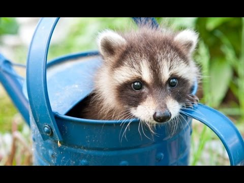free hq baby raccoon - photo #29