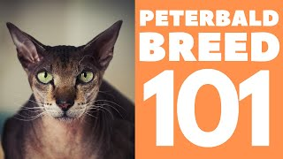 The PeterBald Cat 101 : Breed & Personality