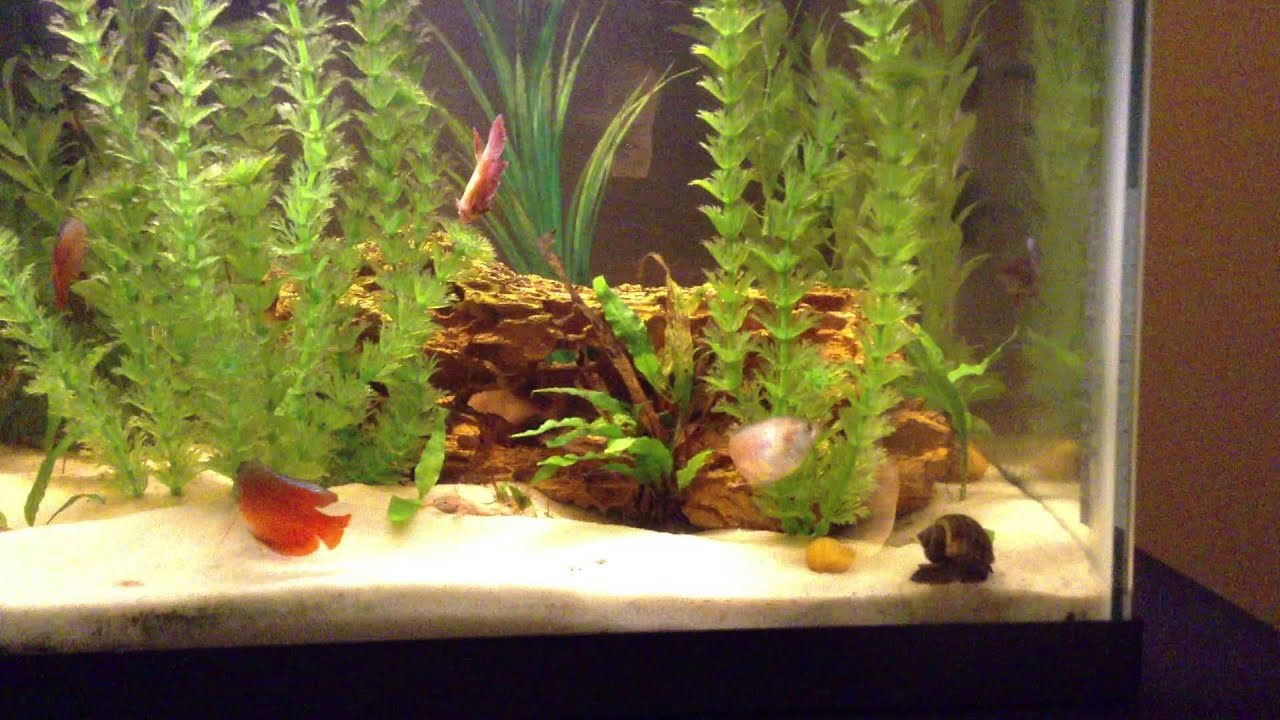 Freshwater fish tank yellow water - 20 Gallon Dwarf Gourami African Frog Female Betta Freshwater Fish Tank Youtube