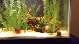 20 gallon dwarf gourami african frog female betta freshwater fish tank