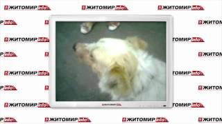 В Житомире отсреляли дворовых собак - Житомир.info