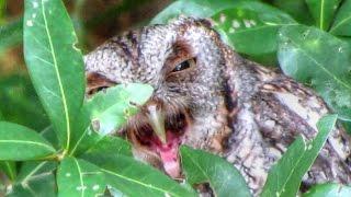 Screech Owl Regurgitating a Pellet