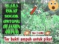 Suara Pikat Sogok Ontong Di Jamin Ampuh  Mp3 - Mp4 Download