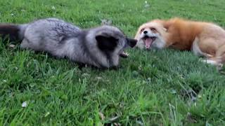 Foxes chatting