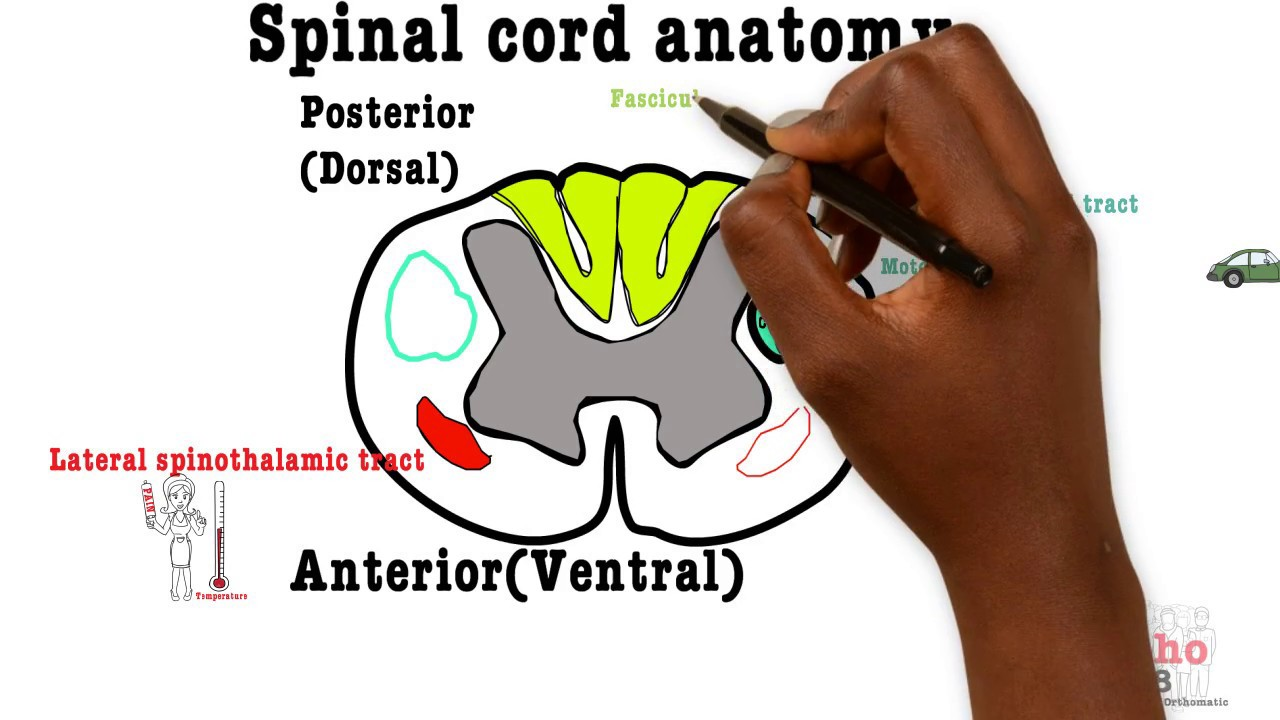 Basic Sciences Spinal Cord Cross Section Youtube