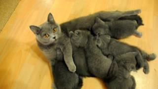 DSC Зафира с котятами.AVI