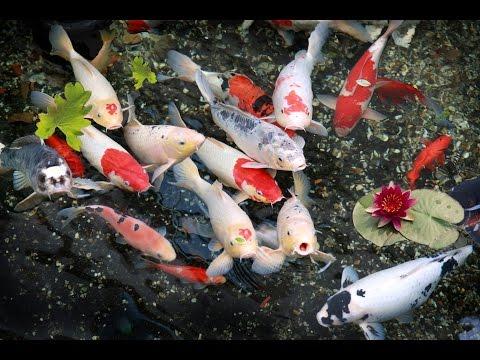 Koi fish feeding in Vietnam Pagoda Freshwater Fish * Aquarium Tropical Fish by HT BabyTV
