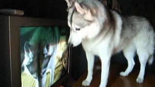Who Are You, Siberian Husky Hana.wmv